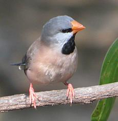 Image:Long-tailed-Finch.jpg