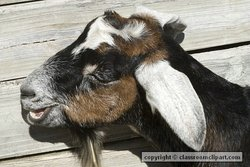 Adult male or billy goat